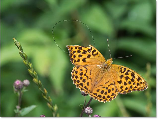 Выбор недостающего участка крыла бабочки, чтобы восстановить его с помощью Content-Aware Fill