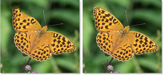 Крыло бабочки отремонтировано с помощью Content-Aware Fill's Mirror в Photoshop CC 2019