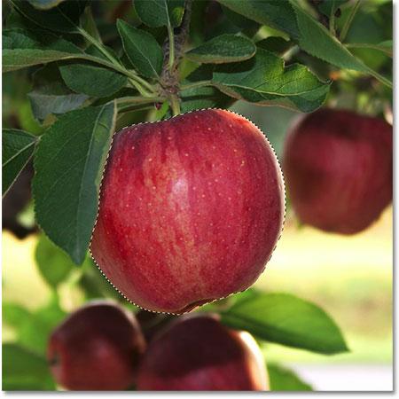 Вокруг яблока появляется контур выбора.